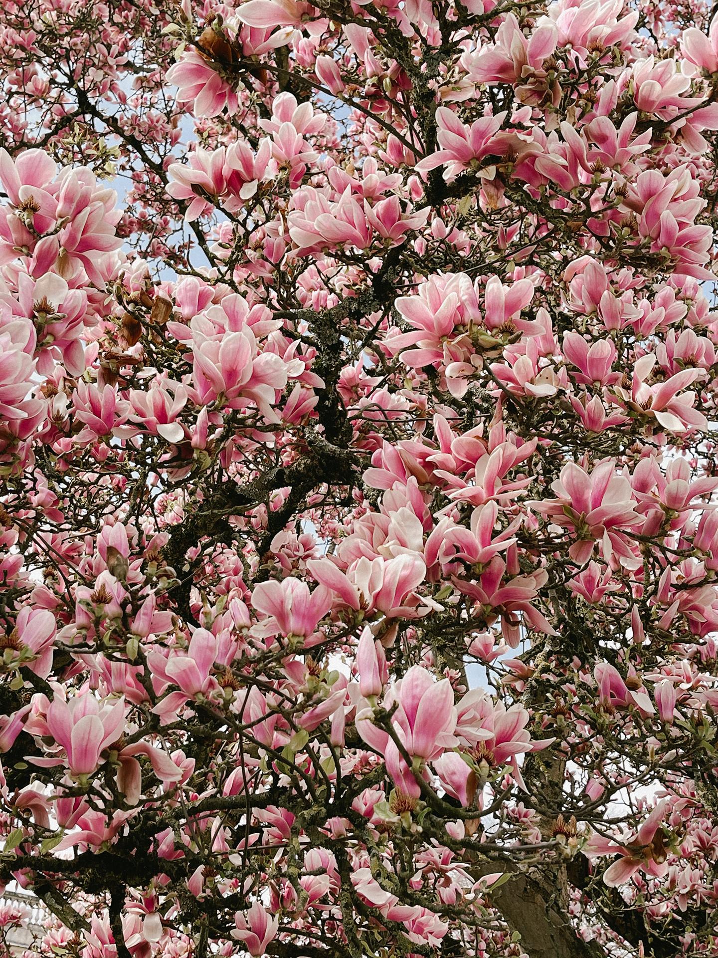 magnolia-jardin-public-bordeaux